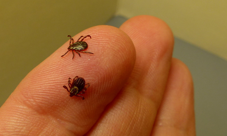 Image Gallery: Ticks of the Northeastern United States
