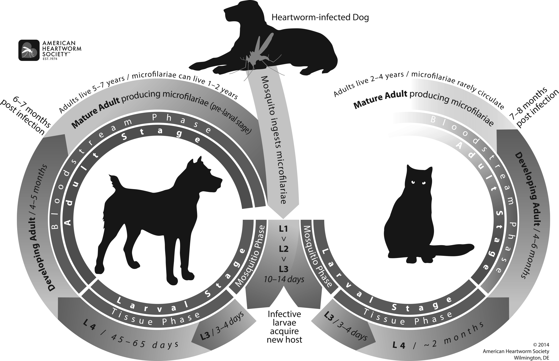 The heartworm life cycle. Printed with permission of the American Heartworm Society (heartwormsociety.org)