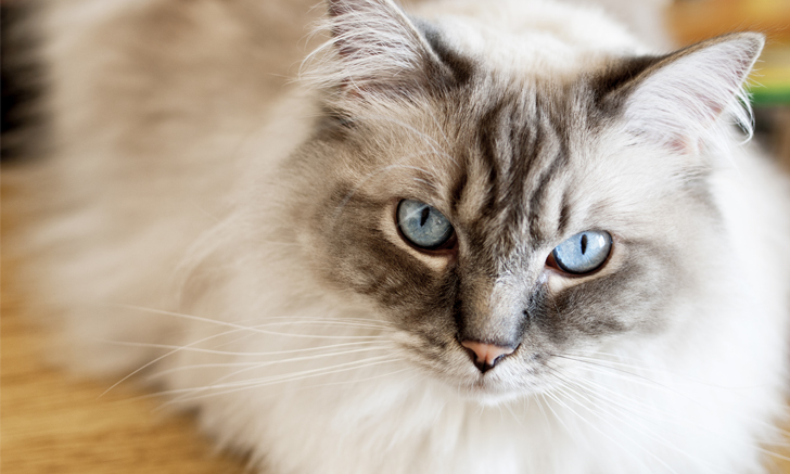 Quiz: Hypertrophic Cardiomyopathy in Cats