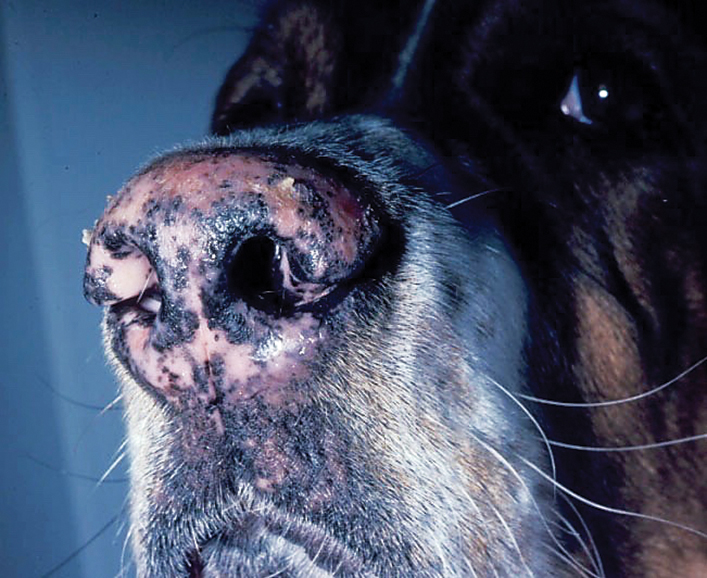 Nasal depigmentation and mild crusting secondary to dermatophytosis as a result of an infection with Trichophyton mentagrophytes in a 3-year-old neutered male Saint Bernard. Image courtesy of J.O. Noxon, Iowa State University