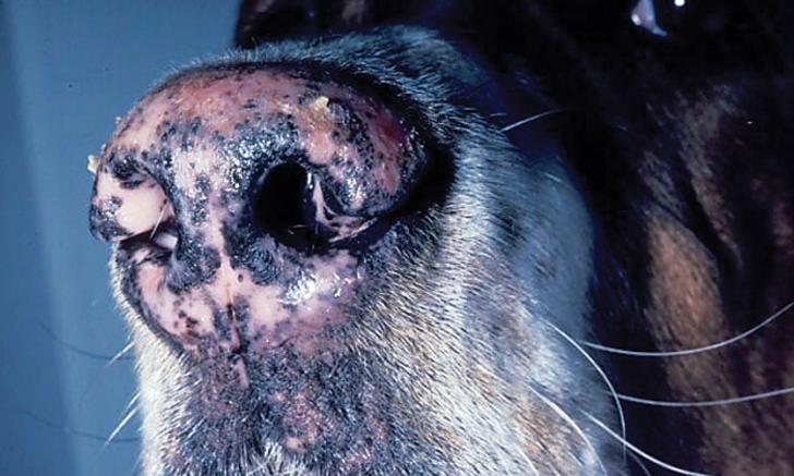 Diagnosing Nasal Planum Disease in Dogs