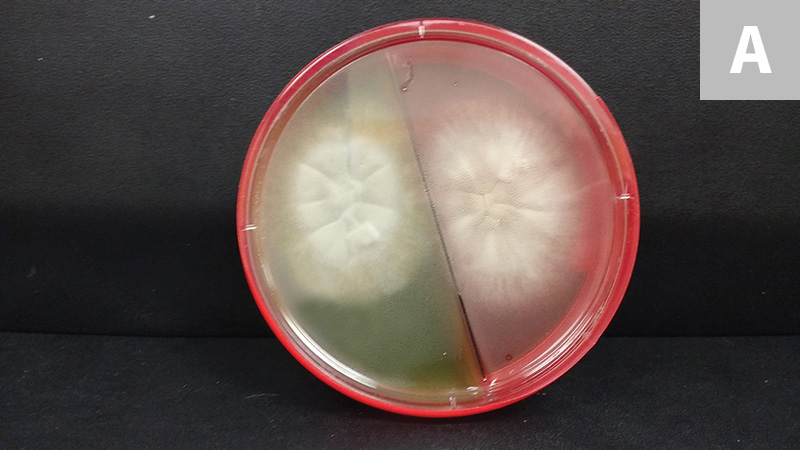 Grossly, colonies of M canis are typically white with a cotton-like texture. As they age, they can become powdery and develop a centrally depressed area with radial folds (A; colony on split dermatophyte test medium and Sabouraud dextrose agar plate).