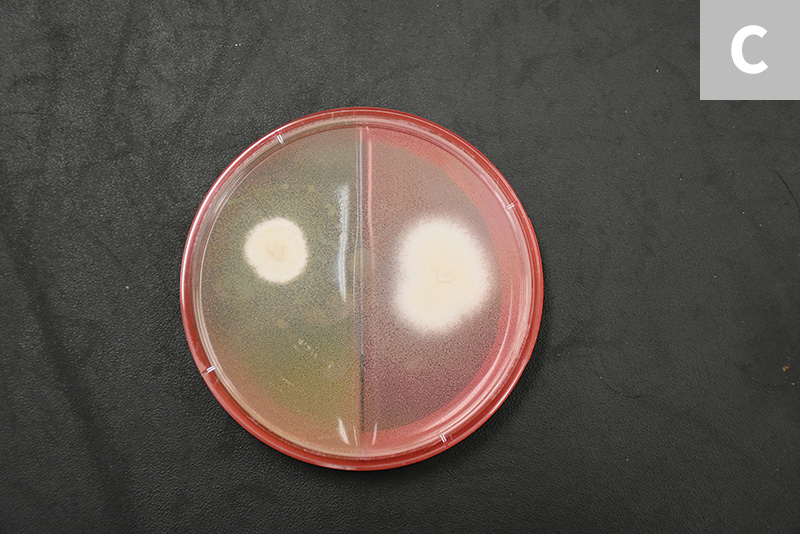The colony morphology of T mentagrophytes is variable. Most zoophilic forms will be white to cream in color with a powdered appearance, whereas the anthrophilic forms typically appear white with a cotton-like texture (C; colony on split dermatophyte test medium and Sabouraud dextrose agar plate).