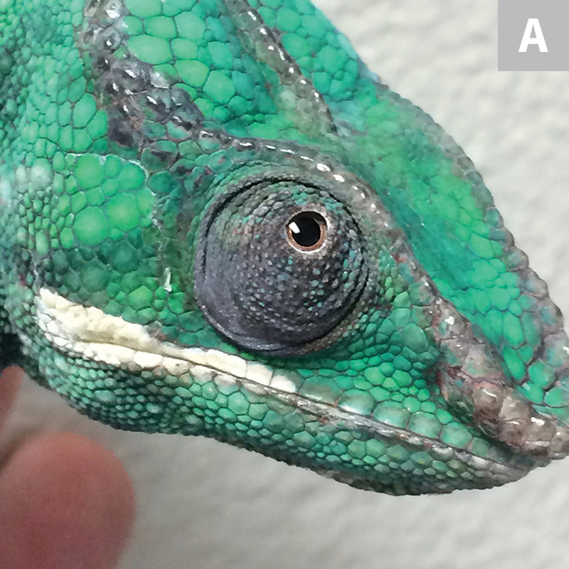 Healthy panther chameleon (Furcifer pardalis; A) with clear rounded eyelids as compared with a panther chameleon with vitamin A deficiency (B). Dull coloration, cheilitis, blepharedema, squinting, mucoid ocular buildup, and dysecdysis are visible over the head and eyelid openings.