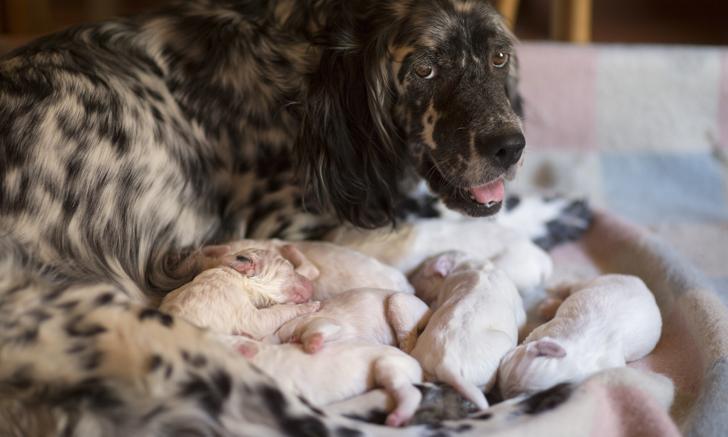 Pregnancy in Dogs