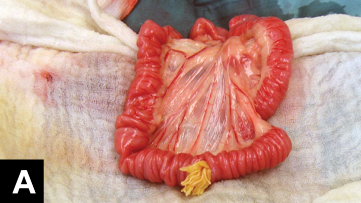 A large mass of T taeniaeformis was found and removed during an enterotomy.