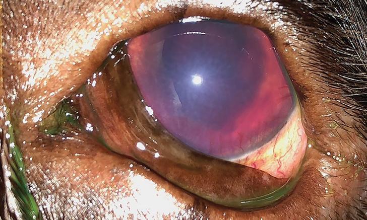 Hemorrhagic Anterior Uveitis in a Labrador Retriever