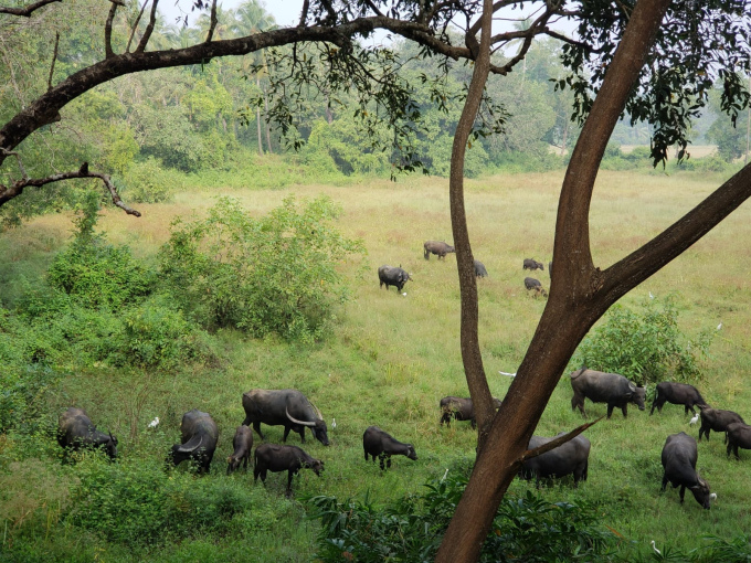 A herd of water buffalo outside the window of our hotel.