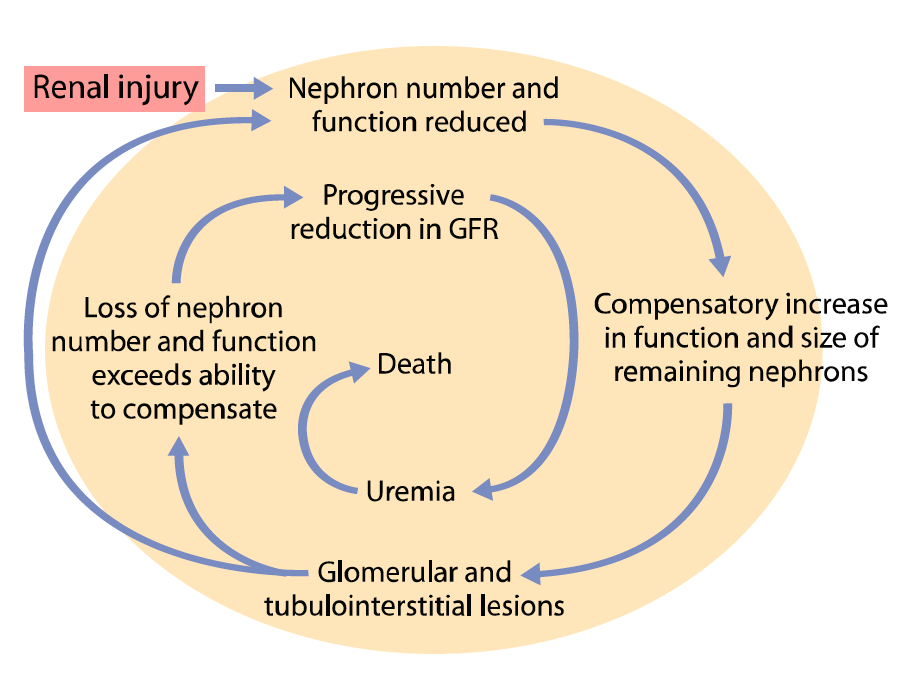 Vicious cycle of progression of chronic kidney disease. After a critical amount of damage has occurred, compensatory mechanisms, which are initially beneficial, are activated and ultimately contribute to progressive injury. The amount of damage required to trigger progression probably varies from species to species and from individual to individual. (Adapted from Churchill J, Polzin DJ, Osborne CA, et al. The influence of dietary protein intake on progression of chronic renal failure in dogs. Seminars in Veterinary Medicine and Surgery: Small Animal 1992;7:246.)