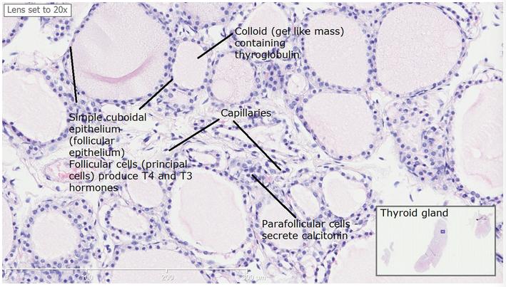 Feline Hyperthyroidism Overview Nutritional Considerations