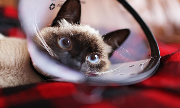 Chapter 46 | Feline Lower Urinary Tract Disease, Part 3