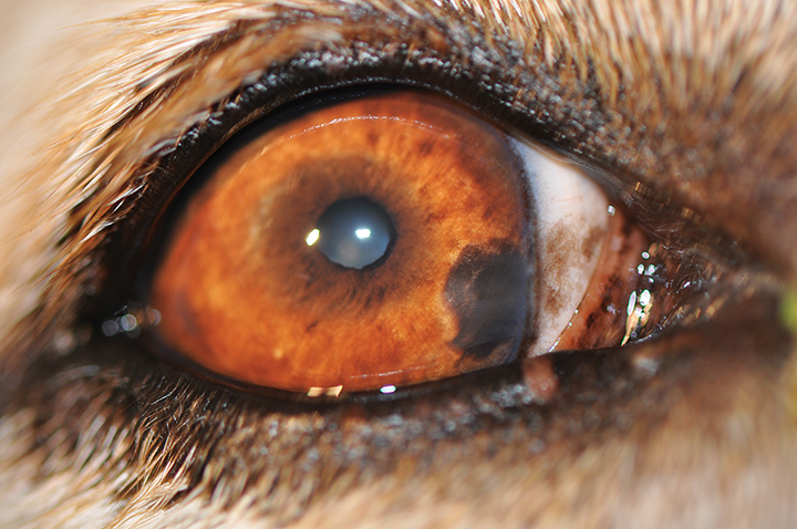 Iris nevus in a dog. A well defined hyperpigmented lesion that is slightly raised from the surface of the iris can be noted in the medial aspect of the iris.