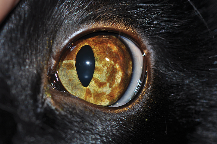 Diffuse iris pigmentation progressing toward the iridocorneal angle in a cat. Diffuse iris melanoma cannot be differentiated from benign iris melanosis based on clinical appearance alone.
