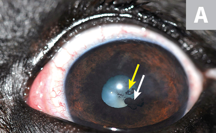 A cluster of small, heavily pigmented uveal cysts over the iris and close to the pupil margins (A; white arrow) and free-floating in front of the pupil (yellow arrow) in a dog. Two big, heavily pigmented uveal cysts posterior to the pupil in a cat (B; arrows).