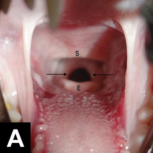 Oropharynx Cat Endotracheal In...