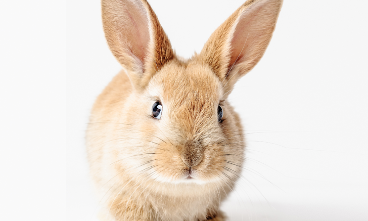 Ectoparasites in Rabbits