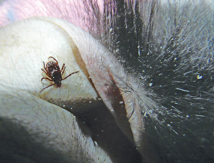 A Rhipicephalus sanguineus tick (ie, brown dog tick) on the medial ear pinna of a rabbit allowed outdoors during mild weather