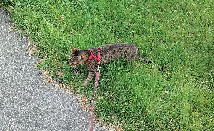 A cat on a leash walk as part of its individualized physical activity program