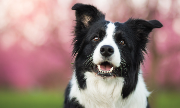 Respiratory Distress & Inappetence in a Border Collie