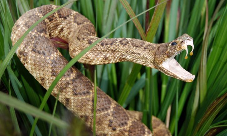 Snake Envenomation