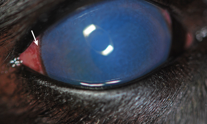 Cloudy Eye in a Labrador Retriever