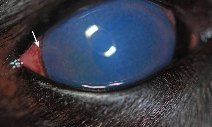 Cloudy Eye in a Labrador Retriever