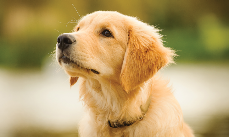 Pelvic Limb Lameness in a Golden Retriever Puppy