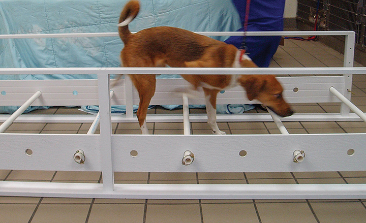 A dog walking over cavalletti rails. The left thoracic limb and right pelvic limb are fully extended, whereas the right thoracic limb and left pelvic limb are hyperflexed. Navigating cavalletti rails is a versatile activity in which changes in distance between and the height of the rails boost AROM, gait retraining, and strength training. This dog is also engaging and strengthening core muscles.
