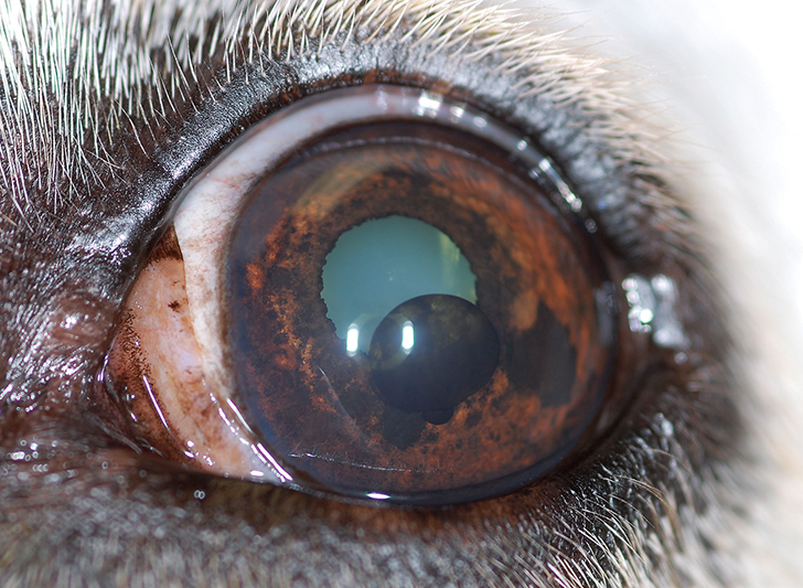 OS image of the patient. Photo courtesy of Louisiana State University School of Veterinary Medicine Ophthalmology Service
