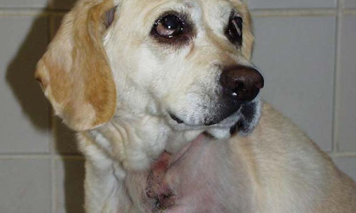 Canine Hemangiosarcoma