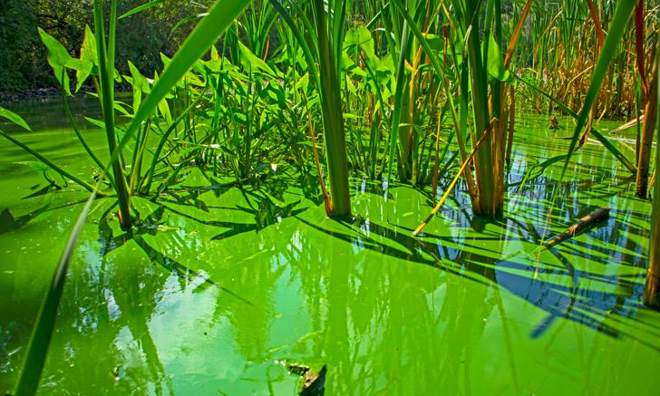 Blue-Green Algae & Cyanotoxins
