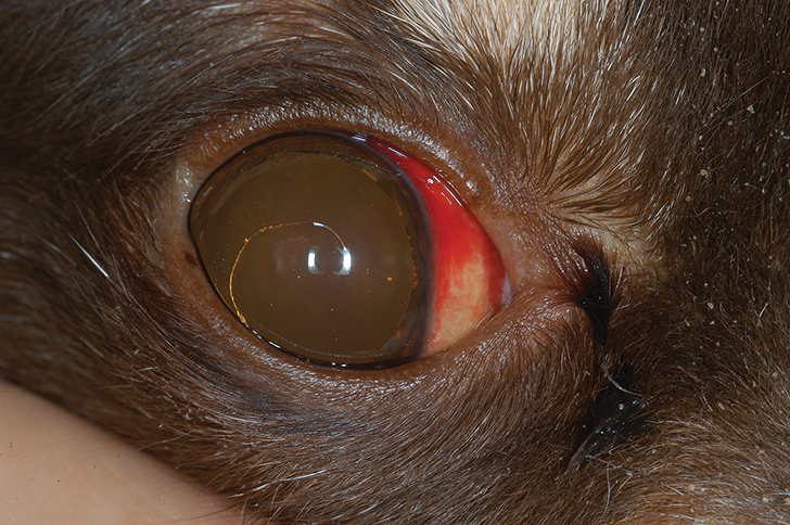 Subconjunctival hemorrhage in a 6-year-old German wirehaired pointer with immune-mediated thrombocytopenia
