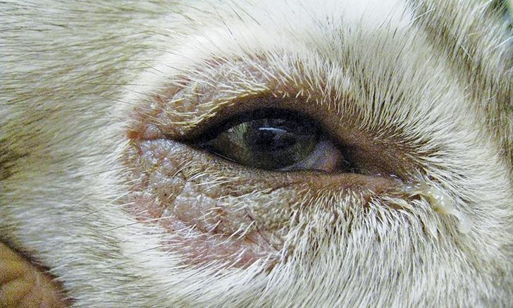 Nonresponsive Skin Lesions in a Siberian Husky