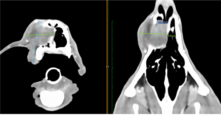 CT scan of a 1-year-old dog with a high-grade fibrosarcoma of the maxilla