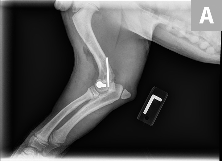 Eight-week postoperative radiographs with orthogonal views (lateral, A; craniocaudal, B) revealing mostly resolved radiolucency of the fracture lines (arrows), indicating appropriate healing