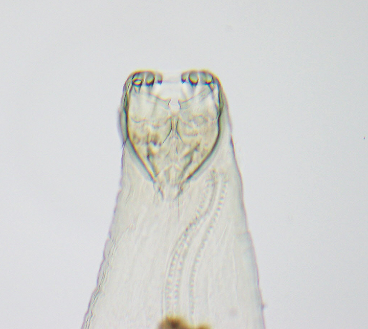 Anterior end of adult A caninum. The buccal capsule (ie, mouth) contains the characteristic 3 pairs of teeth.