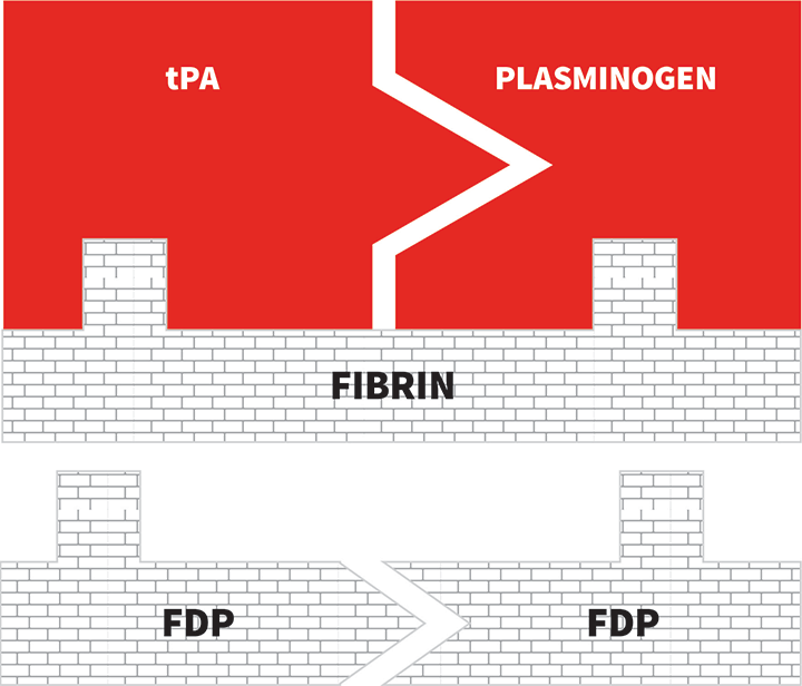 tPA binds to plasminogen, inducing a conformational change that converts plasminogen to plasmin. Plasmin proteolyses fibrin into fibrin degradation products (FDP), thus breaking down the clot.
