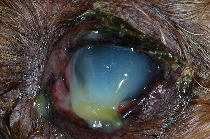 Keratomalacia in a Chihuahua with dry eye