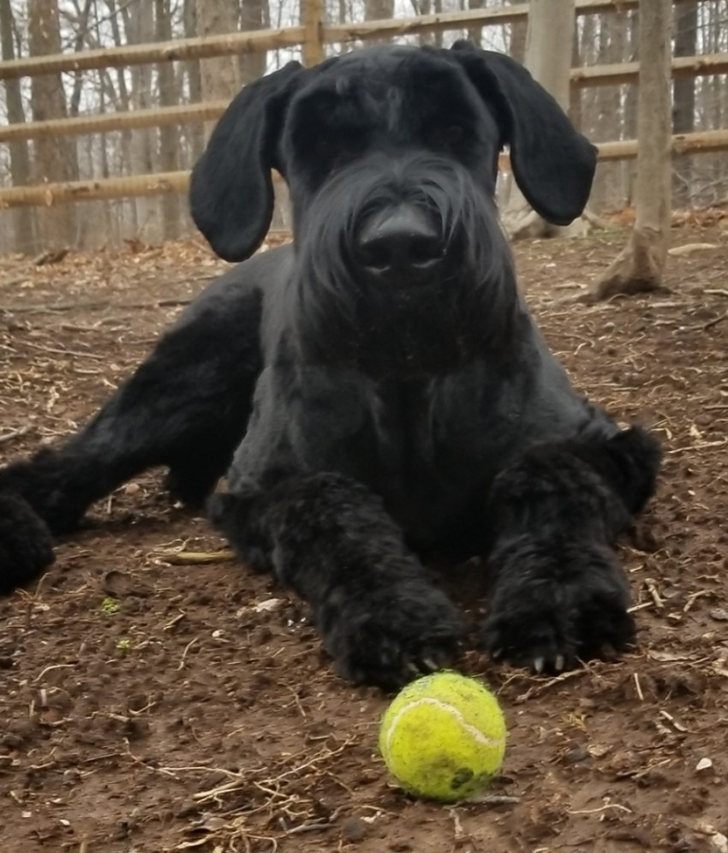 Ike with a tennis ball (ie, resource) that he guards during cases of recurrent otitis externa