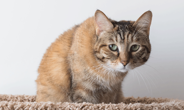 Feline Osteoarthritis Pain: Tools for Clinicians & Pet Owners