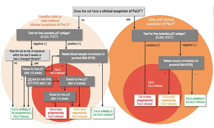 FeLV diagnostic tree (Footnotes: 1. Risk factors and clinical disorders associated with FeLV are discussed in the main text. 2. Alternatively, testing for viral RNA of saliva samples (RT-PCR) can be used. 3. In very rare cases, a focal FeLV infection can be the cause of a positive result in free p27 antigen and a negative result in provirus-PCR, both from blood samples.) Image courtesy European Advisory Board of Cat Diseases (ABCD)