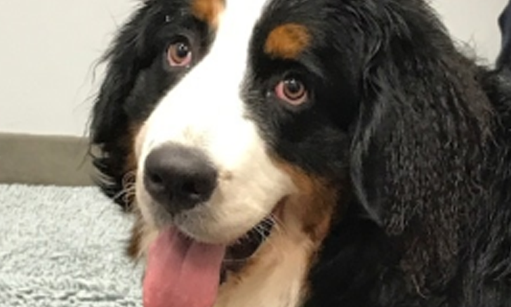 Sudden Onset of Fear & Panic in a Bernese Mountain Dog