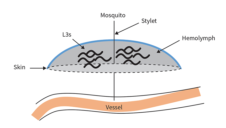 L3 in a hemolymph pool, with the mosquito stylet still inserted in the definitive host
