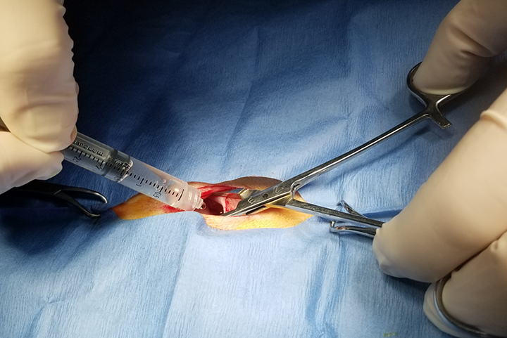 Local anesthetic drugs are instilled into the abdomen through the open incision for postanesthetic relief of pain following ovariohysterectomy and other abdominal procedures.