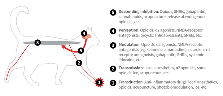 Sites of action of select analgesic drugs and techniques in the mammalian pain pathway