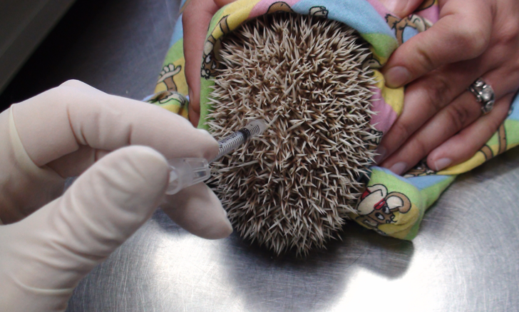 Intramantle injection of a combination of drugs used for sedation in an African pygmy hedgehog