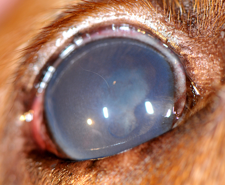 An 8-year-old, spayed golden retriever with end-stage GRPU in the right eye; pain was present and there was no vision in this eye. Episcleral hyperemia, moderate diffuse corneal edema due to secondary glaucoma (intraocular pressure, 45 mm Hg), posterior synechia, and early cataract development can be seen.