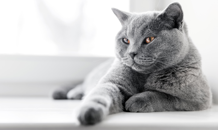 Differential Diagnosis: Proteinuria in Cats