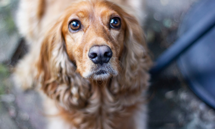Differential Diagnosis: Proteinuria in Dogs