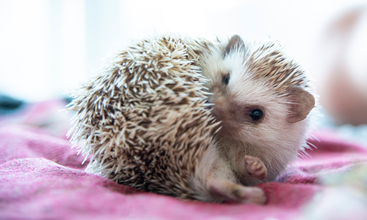 Sedation in African Pygmy Hedgehogs